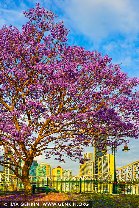 australia stock photography | Jacaranda at Wilsons Outlook Reserve, Brisbane, QLD, Australia