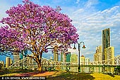 australia stock photography | Brisbane City in Spring, Wilsons Outlook Reserve, Brisbane, QLD, Australia, Image ID AU-BRISBANE-0006. October and November in Brisbane are the months when the jacaranda trees are in bloom. Jacaranda trees have bright purple flowers and you can see them in many Brisbane suburbs. Jacarandas originated in Brazil, but they grow well in Brisbane's sub-tropical climate. It's believed that Australia's first Jacaranda was planted in 1864 in Brisbane's City Botanic Gardens. It grew to a height of 34 metres and was 27 metres across, but was blown over in a storm 116 years later.