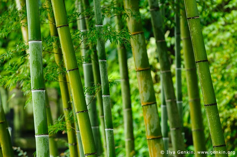 japan stock photography | Bamboo Trees at Kaikozan Hase-dera Temple, Kaikozan Hase-dera Temple, Kamakura, Honshu, Japan, Image ID JP-KAMAKURA-0060