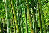 japan stock photography | Bamboo Trees at Kaikozan Hase-dera Temple, Kaikozan Hase-dera Temple, Kamakura, Honshu, Japan, Image ID JP-KAMAKURA-0060.