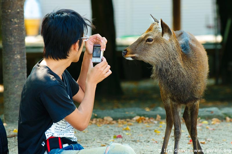 japan stock photography | Tourist Photographing a Miyajima Deer, Miyajima, Honshu, Japan, Image ID JPMI0013