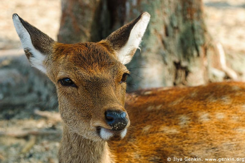 japan stock photography | Miyajima Deer, Miyajima, Honshu, Japan, Image ID JPMI0014