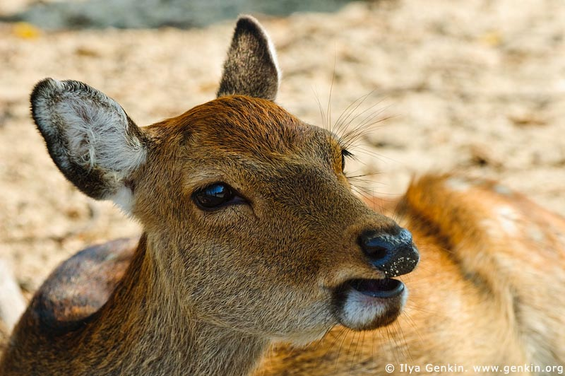 japan stock photography | Miyajima Deer, Miyajima, Honshu, Japan, Image ID JPMI0015