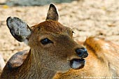 japan stock photography | Miyajima Deer, Miyajima, Honshu, Japan, Image ID JPMI0015.