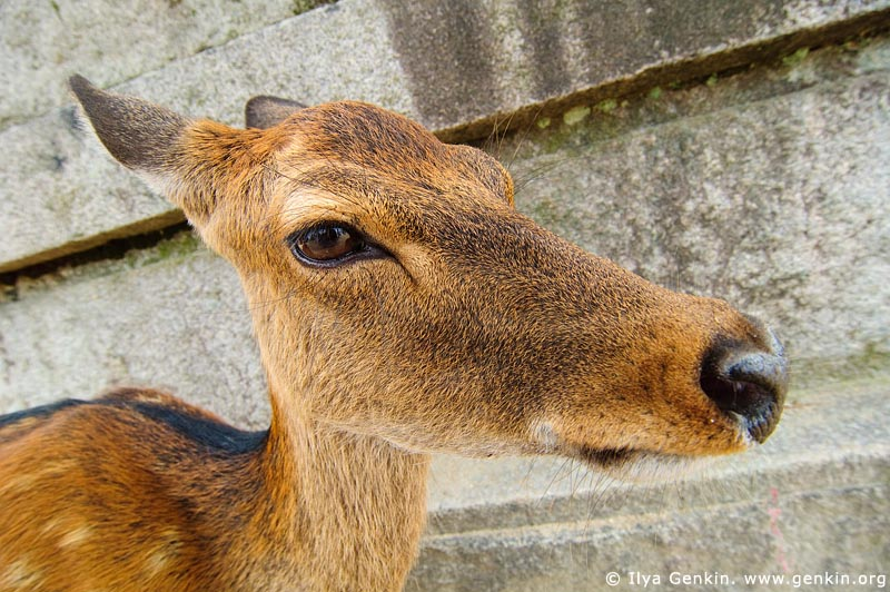 japan stock photography | Miyajima Deer Big Nose, Miyajima, Honshu, Japan, Image ID JPMI0016