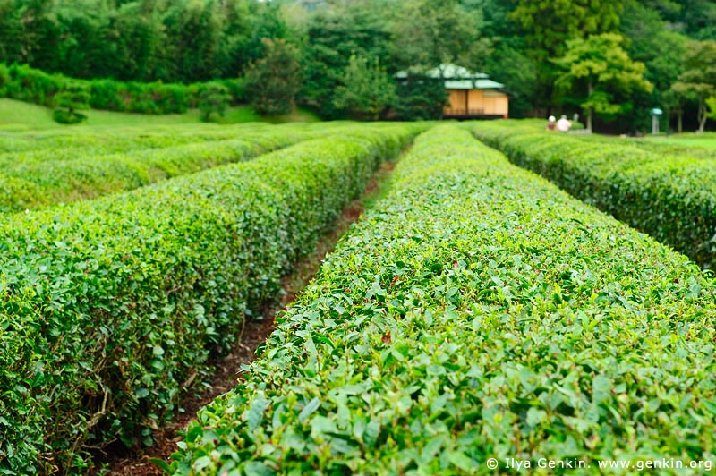 japan stock photography | Tea Plantation, Korakuen Garden, Okayama, Honshu, Japan, Image ID JPOK0007