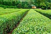 japan stock photography | Tea Plantation, Korakuen Garden, Okayama, Honshu, Japan, Image ID JPOK0007.