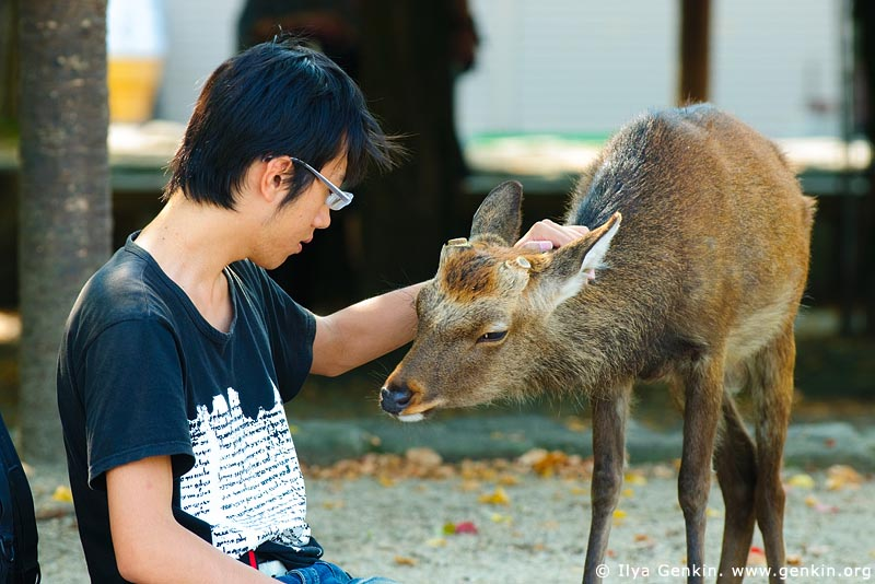 japan stock photography | Tourist is Patting a Miyajima Deer, Miyajima, Honshu, Japan, Image ID JPPE0003