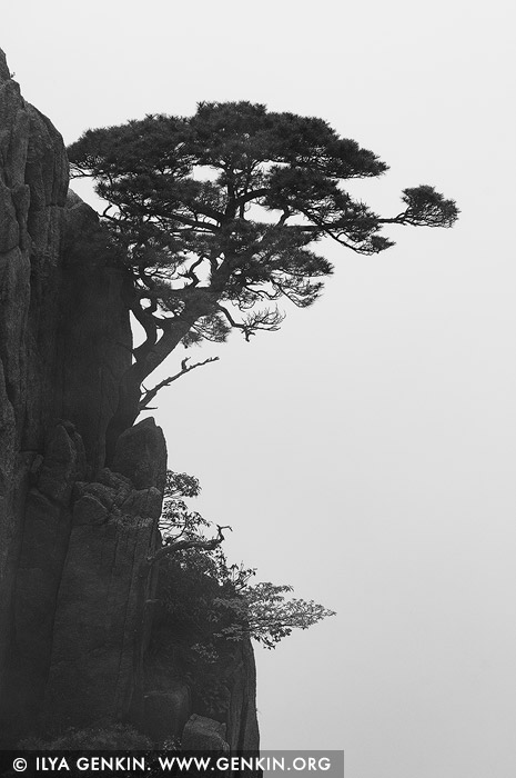 landscapes stock photography | Tree on Rock Wall, Xihai (West Sea) Grand Canyon, Baiyun Scenic Area, Huangshan (Yellow Mountains), China, Image ID CHINA-HUANGSHAN-0035
