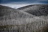 landscapes stock photography | Burnt Snow Gum Forest, Falls Creek, Victoria, Australia, Image ID AU-VIC-FALLS-CREEK-0004. Lines of burnt bare Snow Gum (Eucalyptus pauciflora) trees on slopes near Falls Creek, Victoria, Australia.