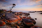 landscapes stock photography | Bay of Fires at Sunrise, Binalong Bay, Tasmania (TAS), Australia, Image ID TAS-BAY-OF-FIRES-0001. Magnificent landscape photography of a lonely she-oak at sunrise near Binalong Bay in the Bay of Fires in Tasmania, Australia.