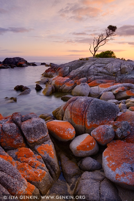 Lonely she oak at sunrise image fine art landscape for Landscaping rocks tasmania