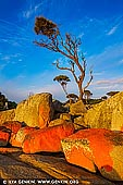 landscapes stock photography   Lonely Tree at Binalong Bay, Bay of Fires, Tasmania (TAS), Australia, Image ID TAS-BAY-OF-FIRES-0004. The town of Binalong Bay is situated at the southern end of the beautiful Bay of Fires. The area is one of the most scenic and beautiful places in Tasmania, from the blue sea and fine white sand to the orange-tinged boulders that hug the coast. The coastal landscape features rocky gullies, small secluded beaches, shore-hugging forests and the orange lichen-coloured boulders that many now associate with the name.