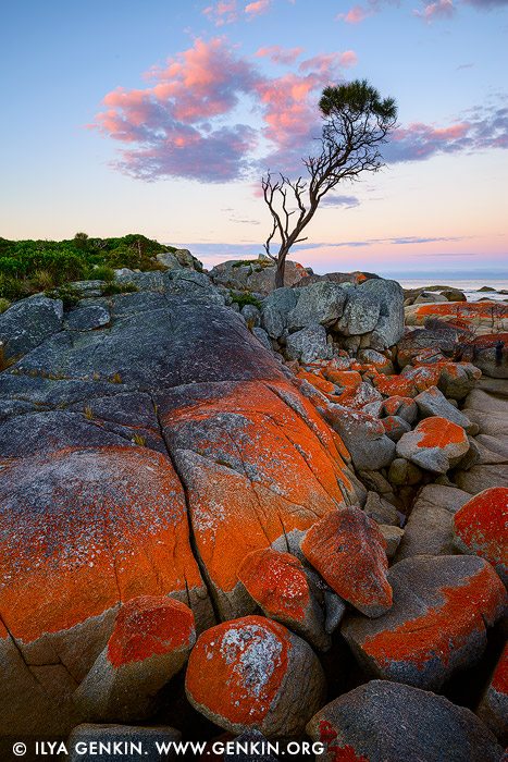landscapes stock photography | Lonely She-Oak at Sunrise, Bay of Fires, Binalong Bay, Tasmania (TAS), Australia