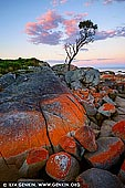 landscapes stock photography   Lonely She-Oak at Sunrise, Bay of Fires, Binalong Bay, Tasmania (TAS), Australia, Image ID TAS-BAY-OF-FIRES-0005. 10 kilometres north east of St Helen's is the popular beachside resort of Binalong Bay. The coastal area for about 30 kilometres to the north is known as the Bay of Fires Conservation Area. Famous for its crystal-clear waters, white sandy beaches and orange lichen-covered granite boulders, the Bay of Fires is one of Tasmania's most popular conservation reserves. The Bay of Fires conservation area extends along the coast from Binalong Bay in the south to Eddystone Point in the north.