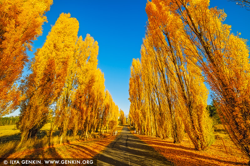 landscapes stock photography | Poplars at Meadow Flat in Autumn, Meadow Flat, Central Tablelands, NSW, Australia, Image ID AU-MEADOW-FLAT-AUTUMN-0001