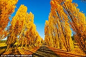 landscapes stock photography | Poplars at Meadow Flat in Autumn, Meadow Flat, Central Tablelands, NSW, Australia, Image ID AU-MEADOW-FLAT-AUTUMN-0001. Autumn poplars line the old Mid-Western Highway at Meadow Flat in the NSW Central Tablelands.