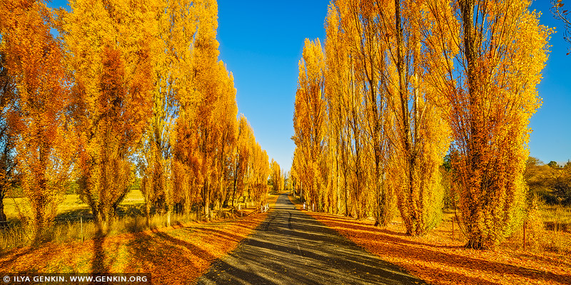 landscapes stock photography | Autumn Poplars at Meadow Flat, Central Tablelands, NSW, Australia