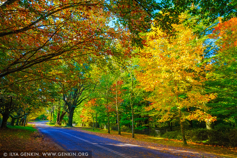 landscapes stock photography | Autumn Avenue in Mount Wilson, Blue Mountains National Park, NSW, Australia, Image ID AU-MOUNT-WILSON-AUTUMN-0001