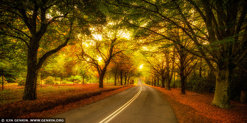 landscapes stock photography | Autumn Avenue in Mount Wilson, Blue Mountains National Park, NSW, Australia, Image ID AU-MOUNT-WILSON-AUTUMN-0004