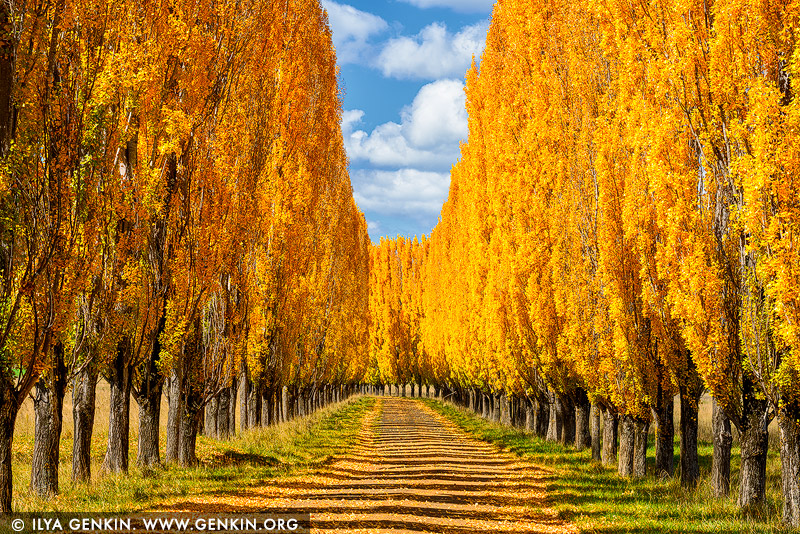 landscapes stock photography | Autumn Poplars near Glen Innes, Northern Tablelands, New England, NSW, Australia, Image ID AU-NEW-ENGLAND-AUTUMN-0002