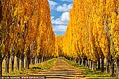 landscapes stock photography | Autumn Poplars near Glen Innes, Northern Tablelands, New England, NSW, Australia, Image ID AU-NEW-ENGLAND-AUTUMN-0002. Autumn colours of poplar trees on a farm driveway on the Northern Tablelands in New England region of NSW, Australia.