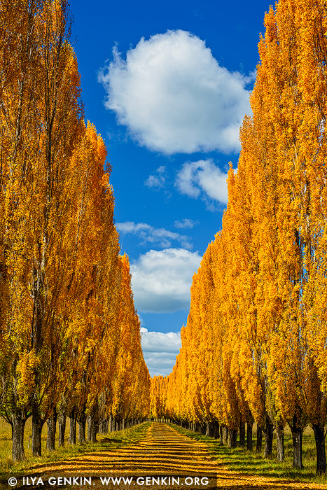 landscapes stock photography | Autumn Poplars near Glen Innes, Northern Tablelands, New England, NSW, Australia, Image ID AU-NEW-ENGLAND-AUTUMN-0003