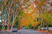 landscapes stock photography | Autumn colours of maple trees on a street in Wahroonga, Sydney, New South Wales (NSW), Australia, Image ID AU-WAHROONGA-AUTUMN-0001. When autumn arrives the deciduous trees and shrubs around Wahroonga and nearby suburbs in Sydney create a brilliant display worth travelling.