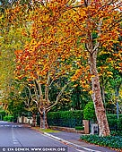 landscapes stock photography | Trees with Autumn Colours on a street in Wahroonga, Sydney, New South Wales (NSW), Australia, Image ID AU-WAHROONGA-AUTUMN-0002. A beautiful road in Wahroonga on the North Shore of Sydney, NSW, Australia dressed in stunning autumn colours.