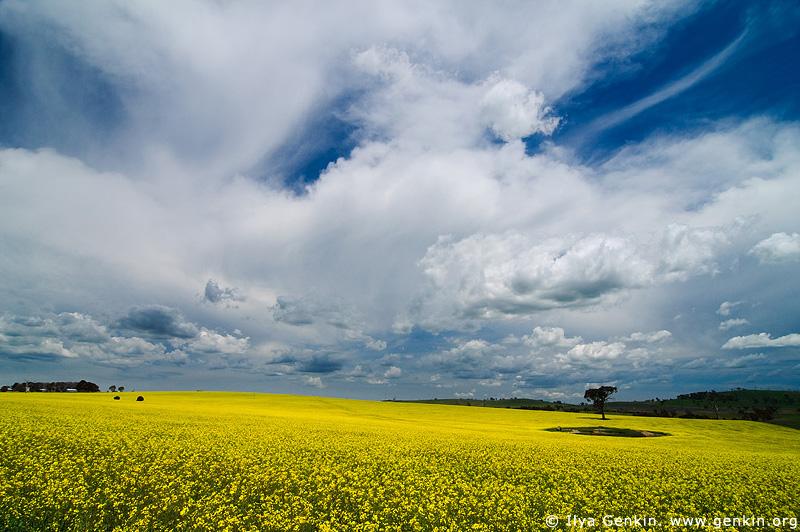landscapes stock photography | Field of Canola, Binalong, NSW, Australia, Image ID AU-CANOLA-FIELDS-0001