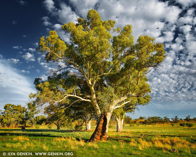 landscapes stock photography | Old River Gum (Eucalyptus camaldulensis), Moralana Scenic Drive, Flinders Range, South Australia, Australia