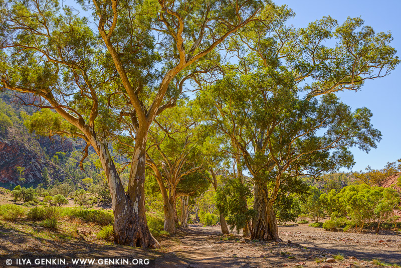 landscapes stock photography | Avenue of River Red Gum in Brachina Gorge, Flinders Range, South Australia, Australia, Image ID AU-SA-FLINDERS-0019