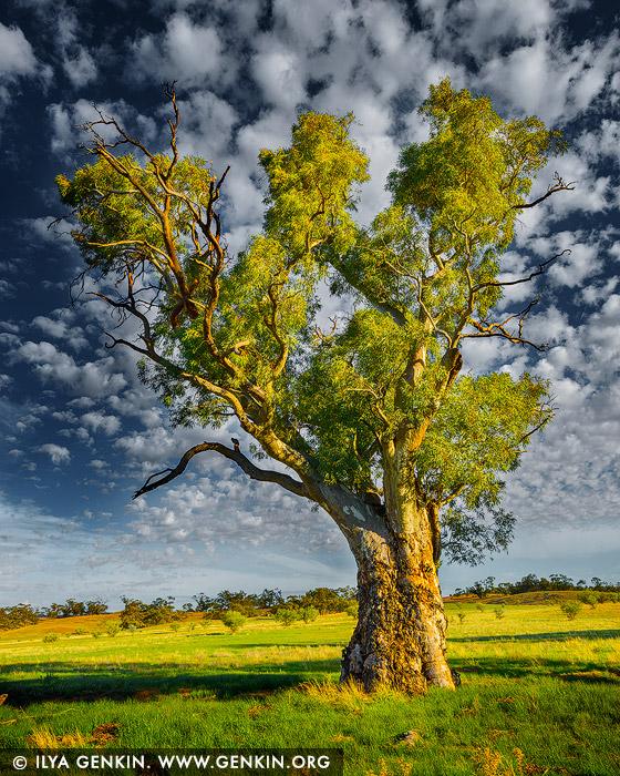 landscapes stock photography | Old River Gum (Eucalyptus camaldulensis), Moralana Scenic Drive, Flinders Range, South Australia, Australia, Image ID AU-SA-FLINDERS-0020