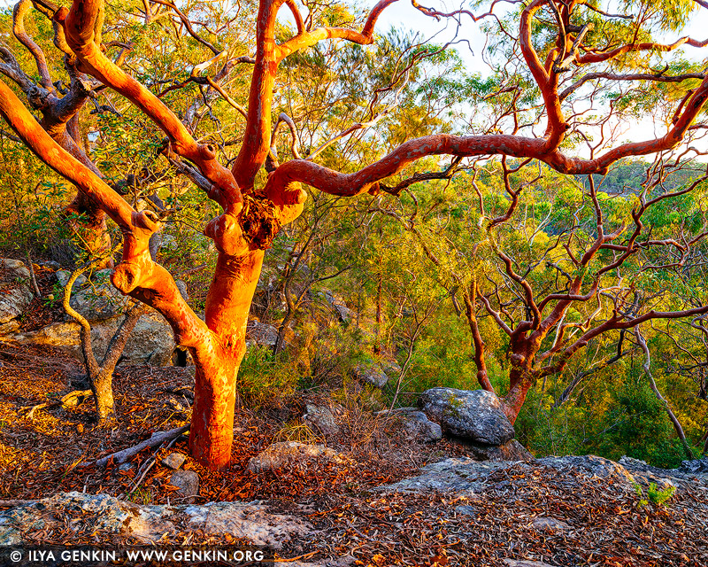 landscapes stock photography | Sydney Red Gum Forest at Sunset, Berowra Valley National Park, Hornsby Shire, New South Wales (NSW), Australia, Image ID AU-NSW-FOREST-0002