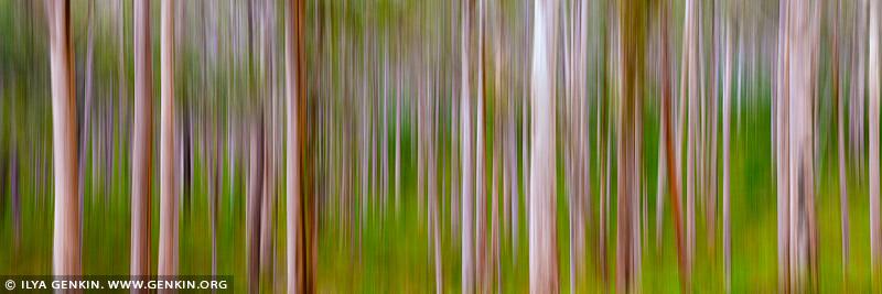 landscapes stock photography | Boranup Karri Trees, Leeuwin-Naturaliste National Park, WA, Australia, Image ID WA-KARRI-FOREST-0001