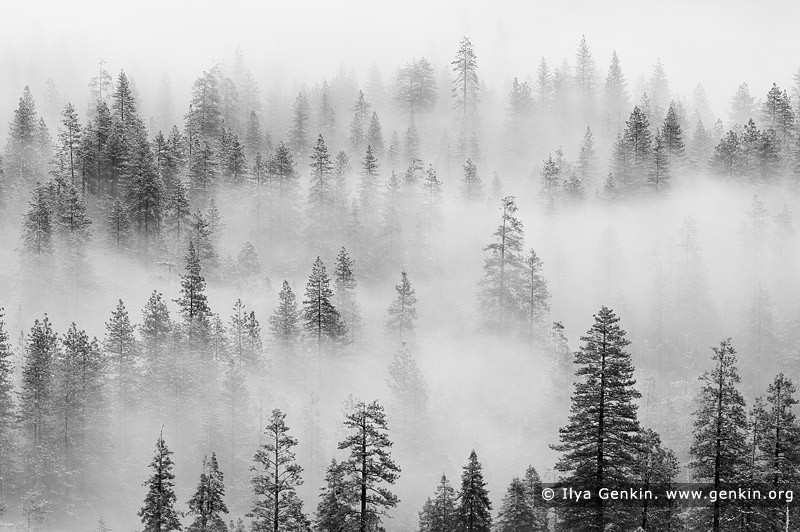 portfolio stock photography | Pine Trees in Clouds After a Snow Storm, Yosemite Valley, Yosemite National Park, California, USA, Image ID AMERICAN-SOUTHWEST-BW-0003