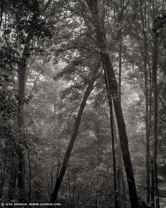 portfolio stock photography | Misty Forest. Study #1, Blue Mountains National Park, New South Wales (NSW), Australia, Image ID BLUE-MOUNTAINS-BW-0001