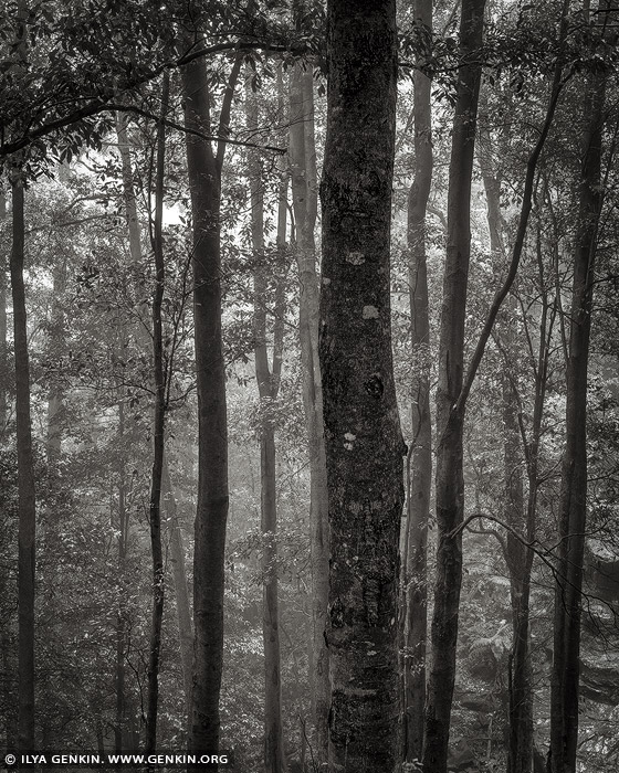 portfolio stock photography | Misty Forest. Study #2, Blue Mountains National Park, New South Wales (NSW), Australia, Image ID BLUE-MOUNTAINS-BW-0002