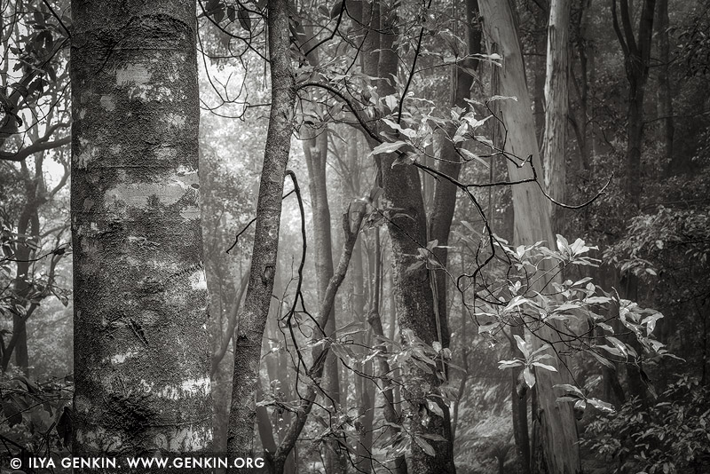 portfolio stock photography | Misty Forest. Study #3, Blue Mountains National Park, New South Wales (NSW), Australia, Image ID BLUE-MOUNTAINS-BW-0003