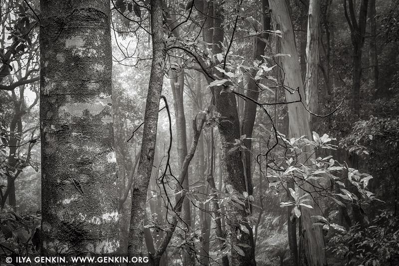 portfolio stock photography | Misty Forest. Study #3, Blue Mountains National Park, New South Wales (NSW), Australia. #source%3Dgooglier%2Ecom#https%3A%2F%2Fgooglier%2Ecom%2Fpage%2F%2F10000