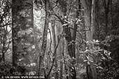 portfolio stock photography | Misty Forest. Study #3, Blue Mountains National Park, New South Wales (NSW), Australia.