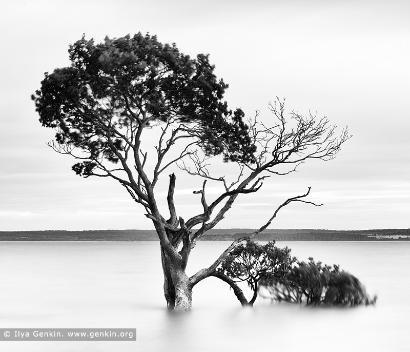 portfolio stock photography | Mangroves at Tenby Point, Western Port Bay, Victoria (VIC), Australia, Image ID AUSTRALIAN-COAST-BW-0003