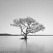 portfolio stock photography | Australian 'Lone Tree of Lake Wanaka', Salamander Bay, Port Stephens, NSW, Australia, Image ID AUSTRALIAN-COAST-BW-0009. Beautiful black and white photo of the Australian version of the 'Lone Tree of Lake Wanaka' AKA 'Wanaka Tree' at high tide from the picturesque shores of Salamander Bay in Port Stephens, NSW, Australia.
