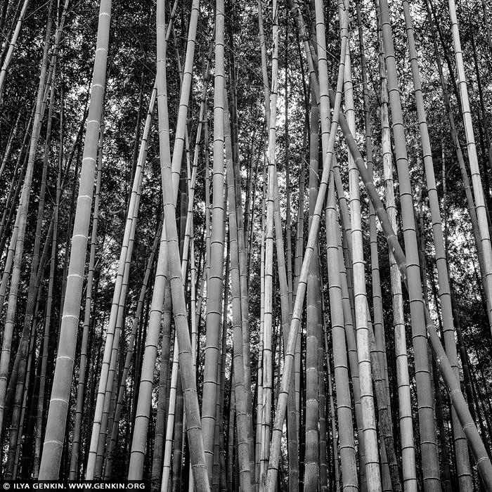 portfolio stock photography | Bamboo Trees at Arashiyama Bamboo Grove , Arashiyama, Kyoto, Kansai, Honshu, Japan, Image ID JAPAN-ARASHIYAMA-BAMBOO-GROVE-0001