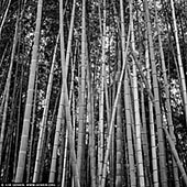 portfolio stock photography | Bamboo Trees at Arashiyama Bamboo Grove , Arashiyama, Kyoto, Kansai, Honshu, Japan, Image ID JAPAN-ARASHIYAMA-BAMBOO-GROVE-0001. The Arashiyama bamboo grove is one of the most popular tourist attractions in Kyoto. It is known for its rich bamboo stalks located in the Arashiyama mountains (Storm Mountains). A popular tourist destination, this place of scenic beauty offers a unique window into Kyoto's historic heart. Arashiyama is located just a train ride away from the Kyoto Station. The thick green bamboo stalks seem to continue endlessly in every direction and there's a strange quality to the light at this famous bamboo grove. The groves are particularly attractive when there is a light wind and the tall bamboo stalks sway gently back and forth.