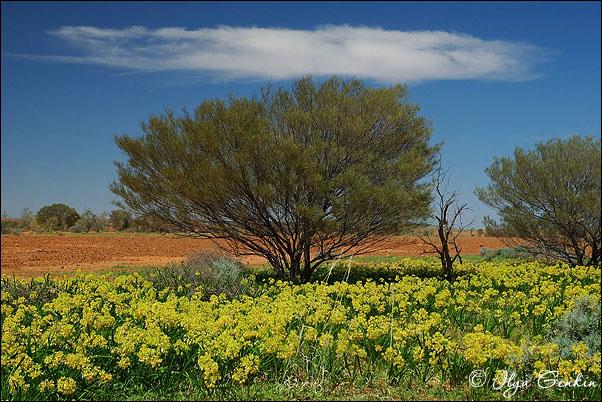 В пустыню стрелецкого в sturt national park